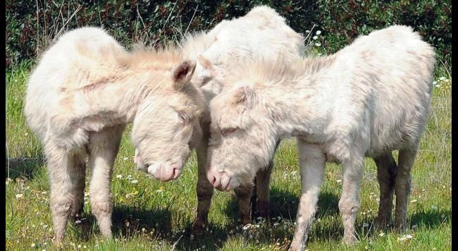 Wild donkeys on the island of Asinara, Italy on March 25, 2010. The small white donkey of Asinara is an albino variant of the more common Sardinian donkey. (Angelo Cucca/AFP/Getty Images)