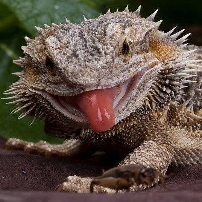 Bearded Dragon photography