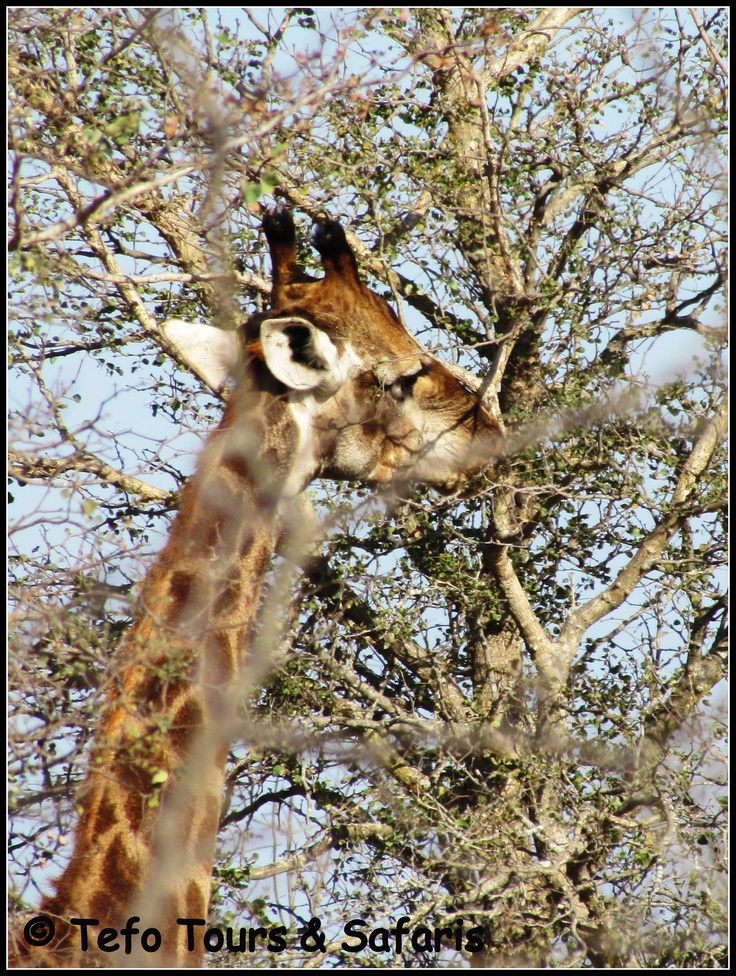 Giraffe seen in #KrugerNationalPark on a 3 Day Kruger Park Safari with Tefo Tours & Safaris