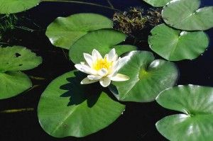 Nymphaea alba (water lily), deep water pond plant