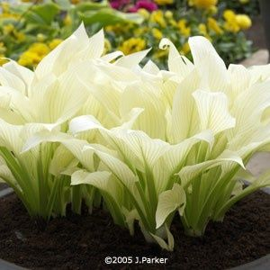 """~ """"White Feathers"""" Hosta ~ Comes up white in the spring and turns a super pale green in the summer. ~  Gorgeous. ~"""