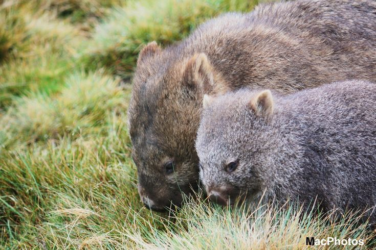 Common Wombat - Mother and Joey | by AustralisWilds