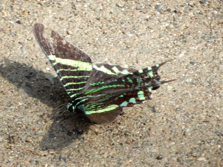 butterfly with lime green markings