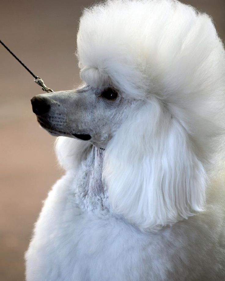 109 Best Oodles Of Poodles Images On Pinterest Poodles