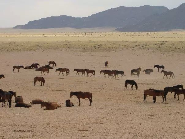 Wild horses in Southern Namibia. Living as nature intended - long may they do so.