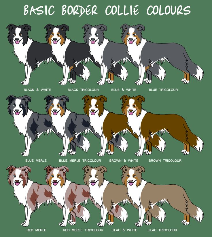 Border Collie colors, they also come in brindle and saddle and short and long hair