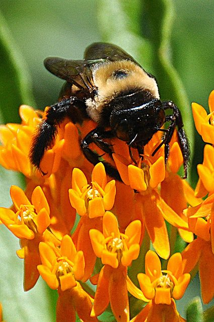 Bumblebee on a Butterfly Weed Flower - Good for Bees and Butterflies.  Butterfly weed is the host plant for Monarch caterpillars.