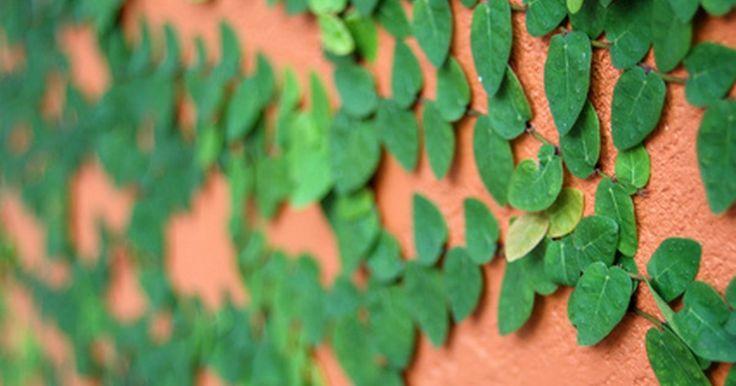 Como plantar uma hortênsia trepadeira em uma treliça . A hortênsia se fixa sozinha em estruturas. As antenas das vinhas são capazes de se agarrar nas superfícies, o que permite a planta subir. Contudo, as antenas, normalmente, deixam um resíduo pegajoso no objeto por onde elas crescem, causando danos a uma madeira não tratada. A vinha pode crescer e atingir até 15 metros e deve ser aparada, de forma a ...