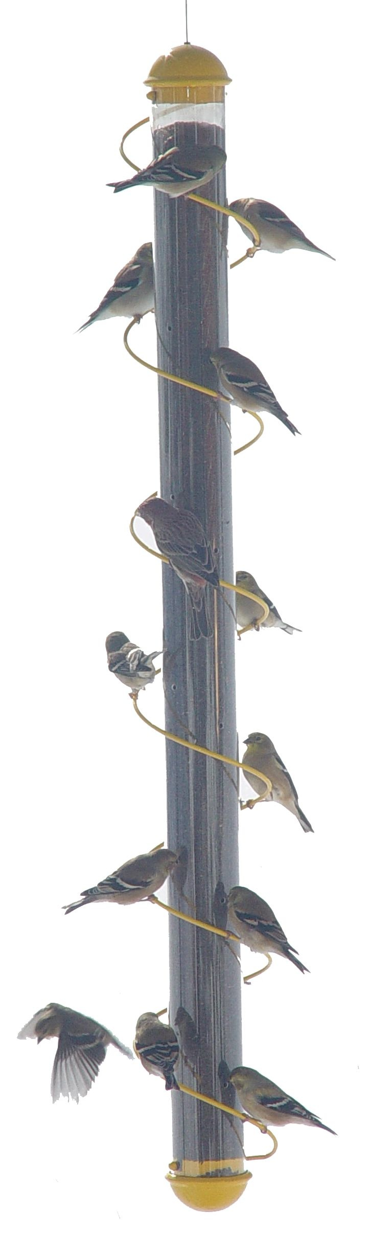 with eight select yellow stokes these your little bit for and finches best finch eating yard from fill feeders bird black the feeder