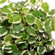 Araflora, exotic flora & more - Pilea depressa