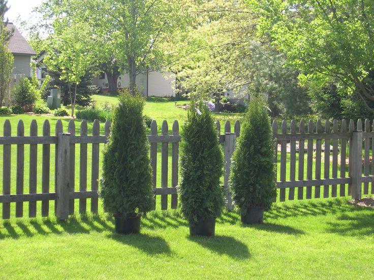 Green Giant Arborvitae for Fresh Landscaping and Surrounding Ideas: Green Giant Arborvitae | Thuja Green Giant Trees For Sale | Thuja Occidentalis Green Giant