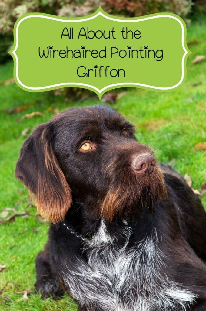 The Wirehaired Pointing Griffon is a great family pet for a lot of reasons. One of those reasons is the the Wirehaired Pointing Griffon is hypoallergenic.