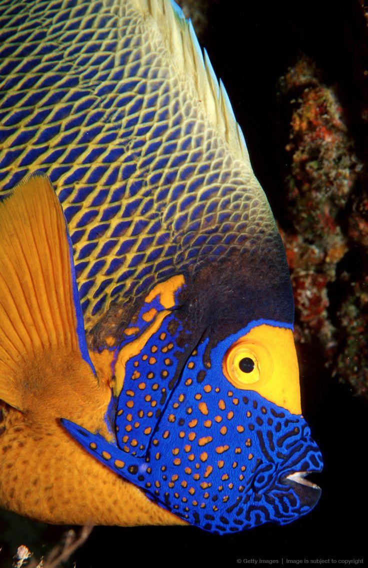 Fish aquarium in karnal - Yellow Mask Angelfish Pomacanthus Xanthometopon Indian Ocean Ari Atol Maldives