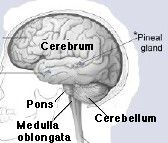 Learn About the Anatomy of the Brain: This brain image shows the location of the cerebrum.