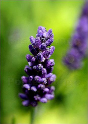 Lavendelblüte: Poster & Kunstdruck von Andrea Fettweis Lavender Flower: photo by Andrea Fettweis