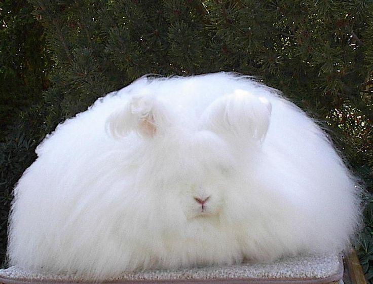 english angora rabbits - photo #27