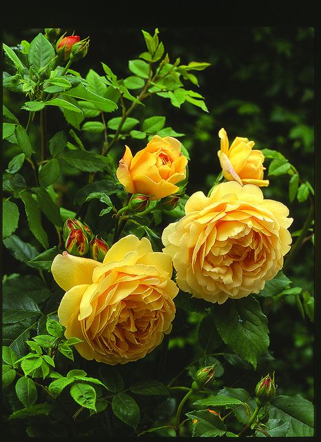 'Golden Celebration '[Charles Austin x Abraham Darby] 1992. One of the most exceptional yellow roses.Very strong fruity flavour with spicy overtones.
