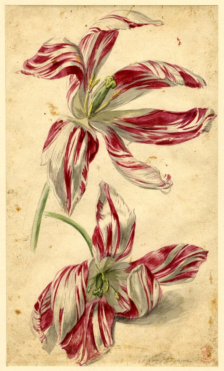 Flower study, formerly in an album; a variety of Tulip, two flowers, pink and white  Watercolour