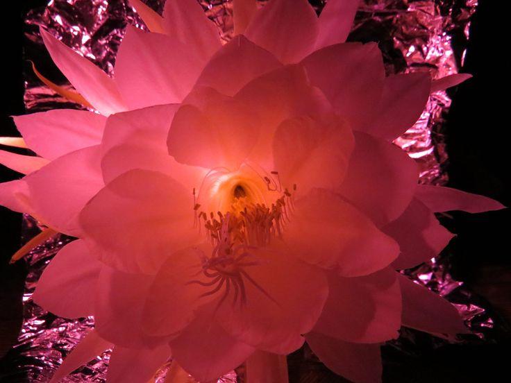 Dama da Noite under pink light effects
