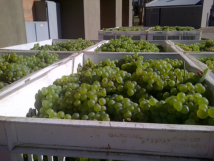 These chardonnay grapes will be used in our Saronsberg Methode Cap Classique.