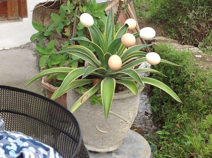 such a good idea for my agaves!