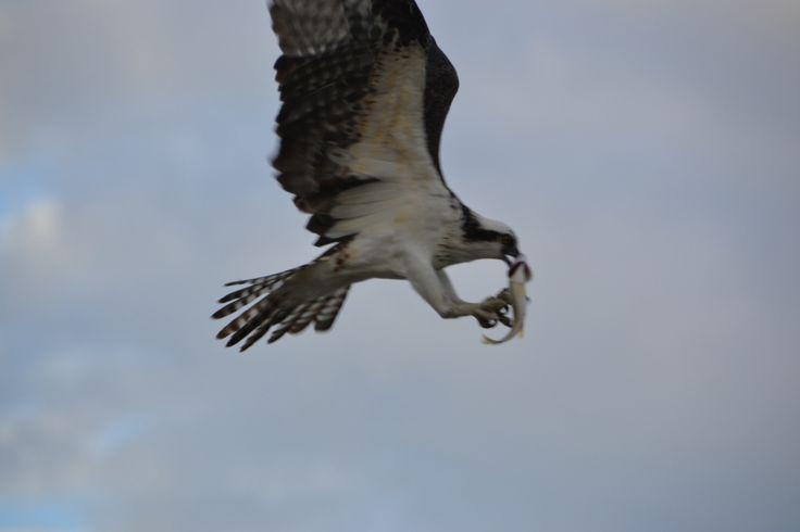 L'aigle et son repas, Naples, Floride (2013)