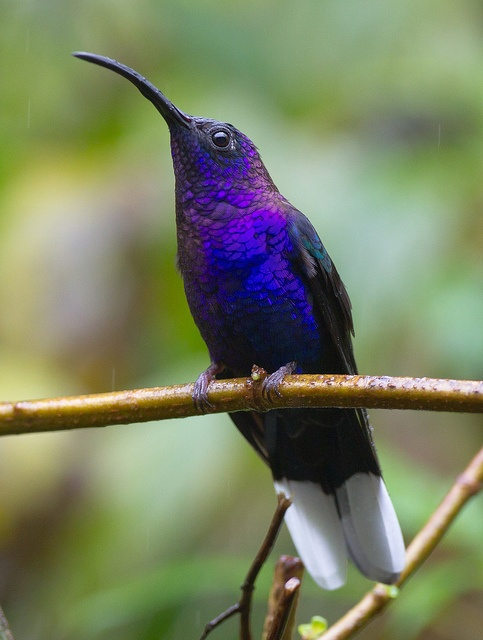 "a violet sabrewing hummingbird is one of the largest hummingbirds... it's around 6"" long"