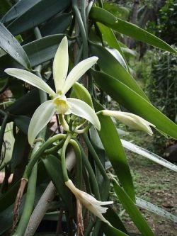 The Vanilla Orchid: Vanilla planifolia
