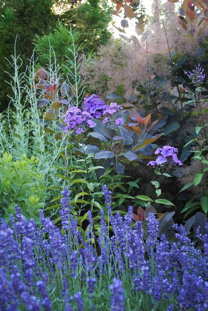 A contrast of textures in June: Russian Sage, Blue Paradise Phlox, Hidcote Lavender, and Smokebush Grace's purple foliage and flowers.