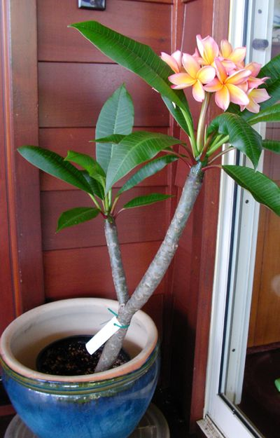 Plumeria: Maui website...good info on pest & diseases, growing, etc.