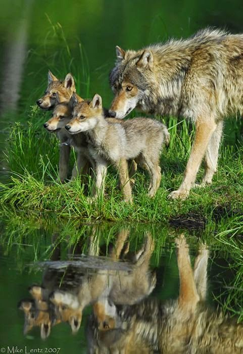 Wolf and Pups | Birds and Animals Collection