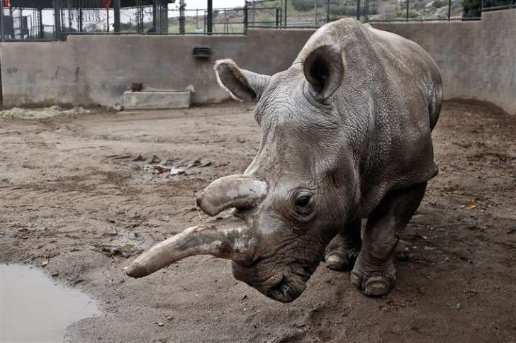 Nola, o rinoceronte branco do jardim zoológico de San Diego, morreu aos 41 anos
