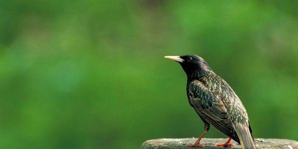 Eurobirdwatch observe la migration - lesgoodnews - étourneau sansonnet