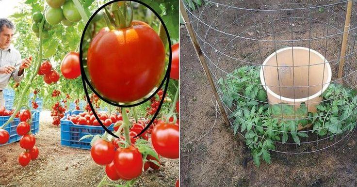 Truco para regenerar tomates y no volver a comprarlos JAMÁS