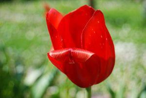 Tulipano solitario