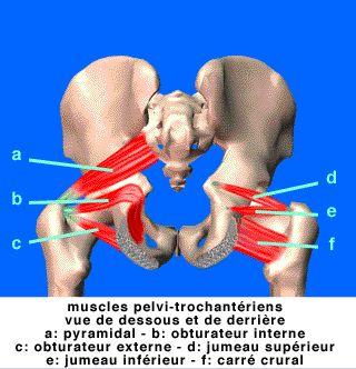 muscles pelvi-trochanteriens