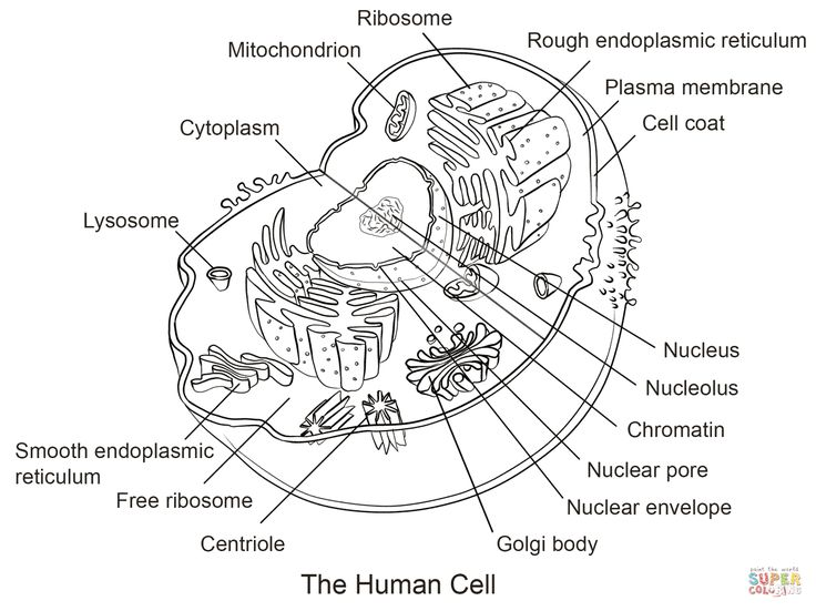 45 best cell diagram images on pinterest