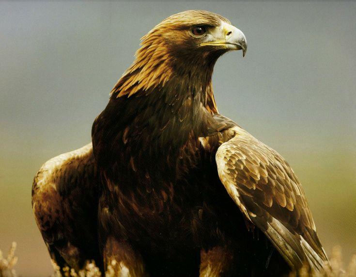 Gold eagle animal - photo#4