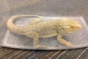Um Dragão Barbudo, foi encontrado dentro de uma caixinha de plástico, dentro de um ônibus em Edimburgo - Escócia, no dia 08 maio 2015. Originário da Austrália, o dragão barbudo é um animal dócil e sociável. O animal, apelidado de Blakey, está em boas condições de saúde e não se sabe se foi esquecido ou abandonado no ônibus.