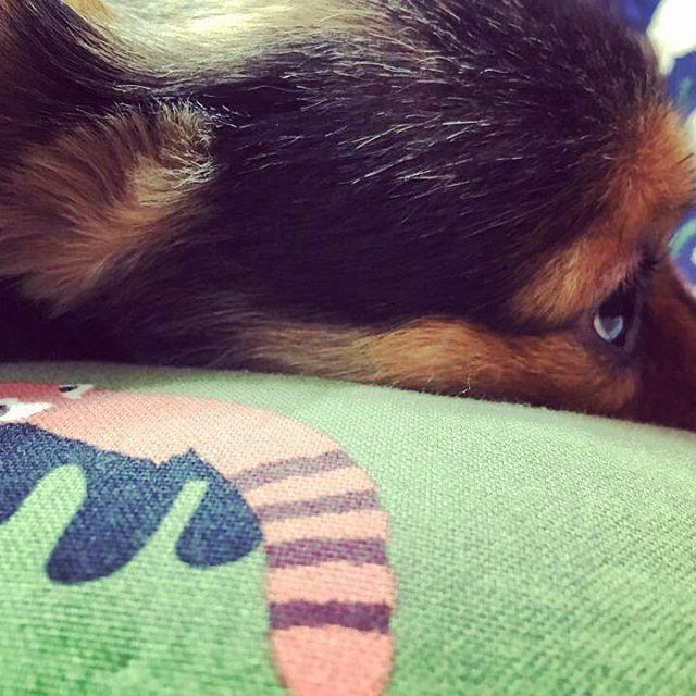 자는디유😒#mydog#loveyou#mypuppy#mypet#2yearold#dog#pet#puppy#까미#강아지#멍뭉이#犬#愛犬#大好き#ペット#イヌ#ワンコ#犬バカ#사랑해#반려동물#petstagram#minipinstagram#minipinmix#ilovemydog#doglife#dogsofinstagram#ミニピンミックス#ミニチュアピンシャーミックス