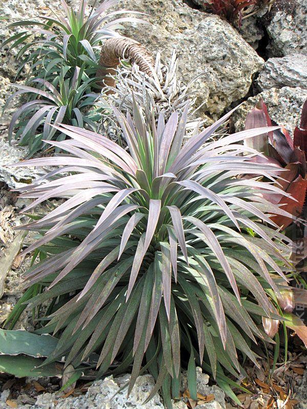 Soft Leaf Yucca Gloriosa