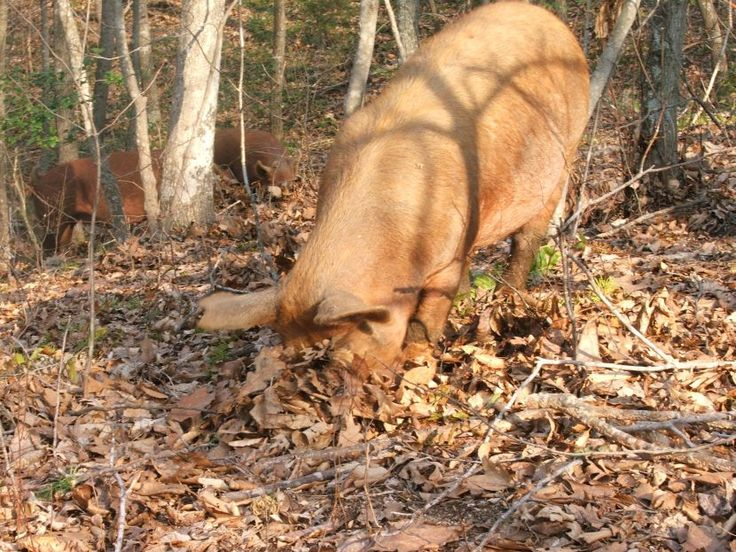 raising pigs in a forest