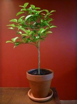 Key Lime Tree $76House Plants, Old Keys, Limes Trees, Patios Plants, Keys Limes, Keylime Trees, Citrus Trees, Perfect Patios, Patio Plants