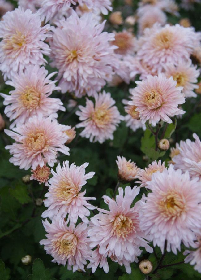 Mum Helen Mae Bluestone Perennials In 2020 Garden Mum Flowers Perennials Perennials