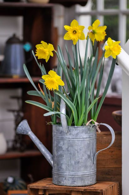 Forcing Tulips Daffodils and Hyacinth Bulbs Indoors for Easter