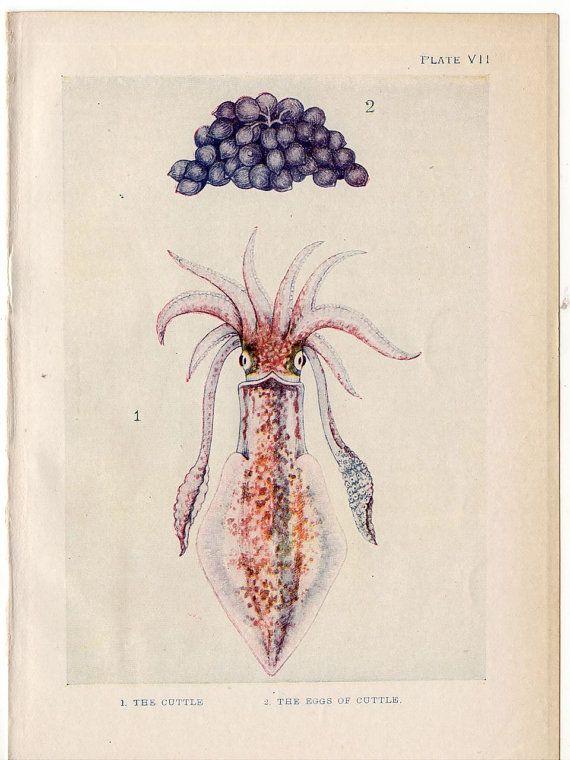 1907 the sea shore original antique sea life ocean print - cuttle