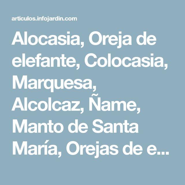 Alocasia, Oreja de elefante, Colocasia, Marquesa, Alcolcaz, Ñame, Manto de Santa María, Orejas de elefante, Ñame de Canarias, Taro de jardín - Alocasia macrorrhiza