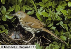 The Brown Thrasher likes our front yard; but I still added him. : )
