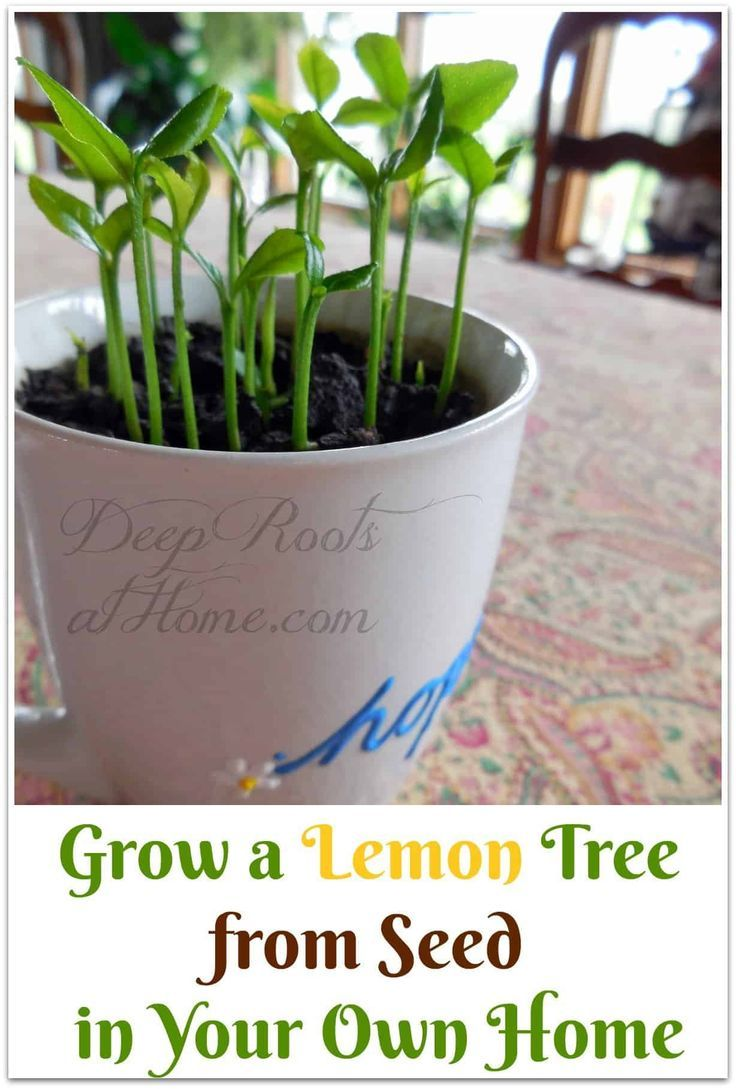 Grow A Lemon Tree From Seed In Your Own Home With Images Lemon
