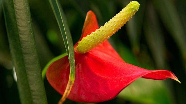 Die Anthurie oder Flamingoblume kann das ganze Jahr über blühen. Was man bei der Pflege von Anthurium beachten sollte, damit die Blätter schön glänzen.